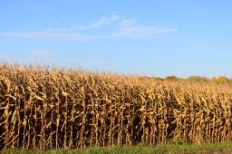 09 annandale minnesota corn
