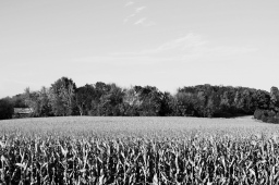 10 annandale minnesota corn black & white