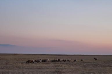 44 bighorn sheep badlands south dakota