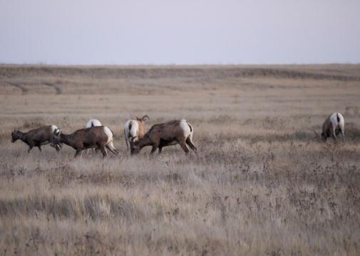 45 bighorn sheep badlands south dakota