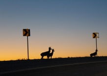48 badlands south dakota pronghorns