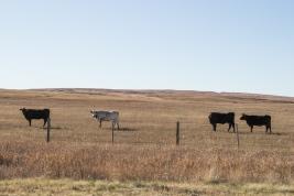 05 wyoming roadside cows