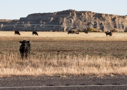 31 wyoming roadside cows