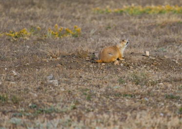 11 montana prairie dog