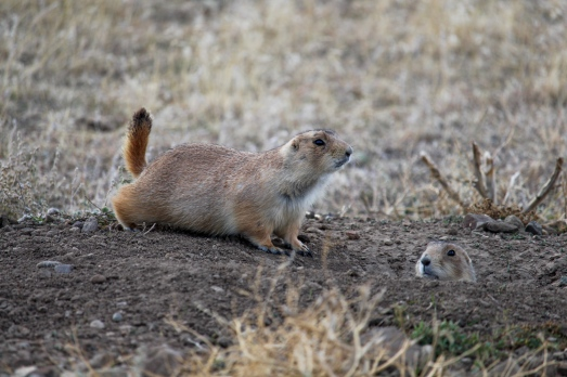 12 montana prairie dogs