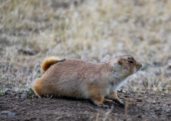 13 montana prairie dog