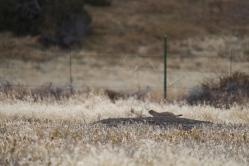 14 montana prairie dog in the distance