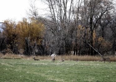 50 deer outside bozeman montana