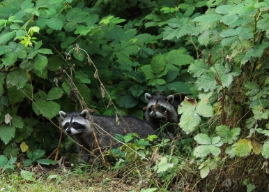 23 stanley park raccoons vancouver british columbia