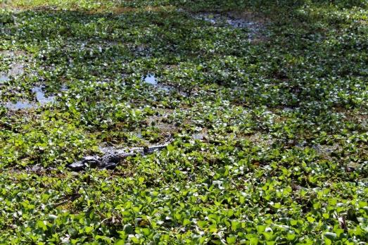 07 bayou coquille gator