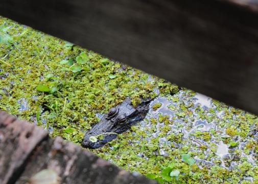 14 bayou coquille gator