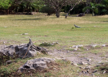 27 tulum iguanas