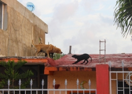 45 dogs playing tug of war on roof tulum