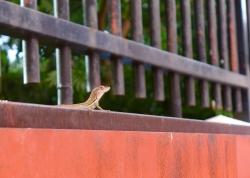 07 curaçao lizard