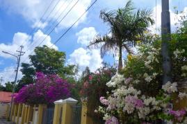 13 curaçao bougainvilleas