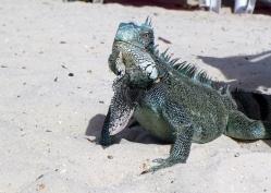 16 curaçao iguana