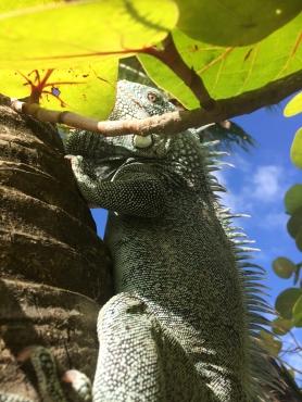 29 mambo beach iguana curaçao