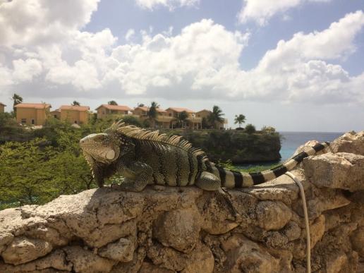 30 curaçao iguana