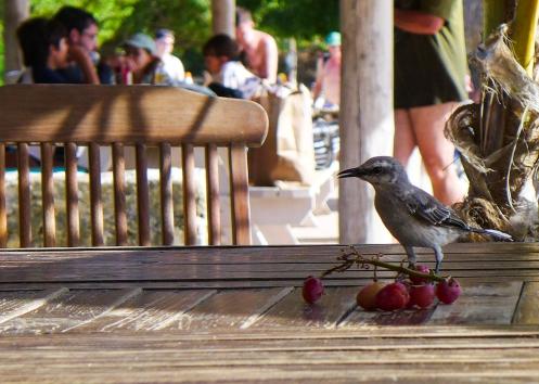 56 curaçao bird & grapes