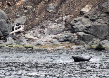 39 fat seal cabot trail cape breton nova scotia