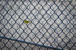 48 st. john yellow warbler