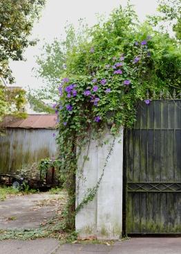 quarantine week 4 - 73 garden district morning glories
