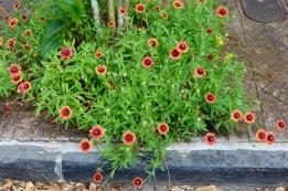 quarantine week 4 - 80 garden district blackeyed susans