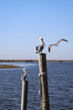 12-delacroix-pelicans